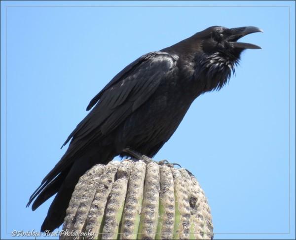 Corvus corax black bird