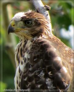 Cooper's Hawk fledgling
