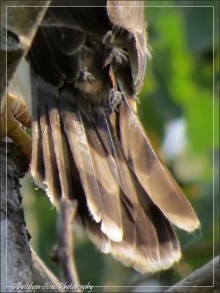 Cooper's Hawk fledgling tail
