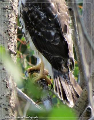 Cooper's Hawk fledgling talons tail