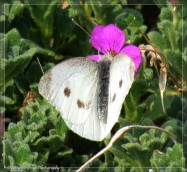 Cabbage white butterfly2