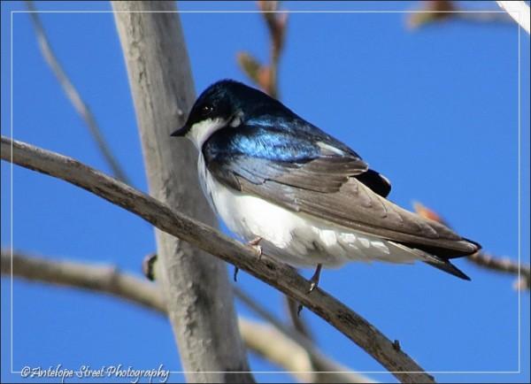 Alberta blue grey white