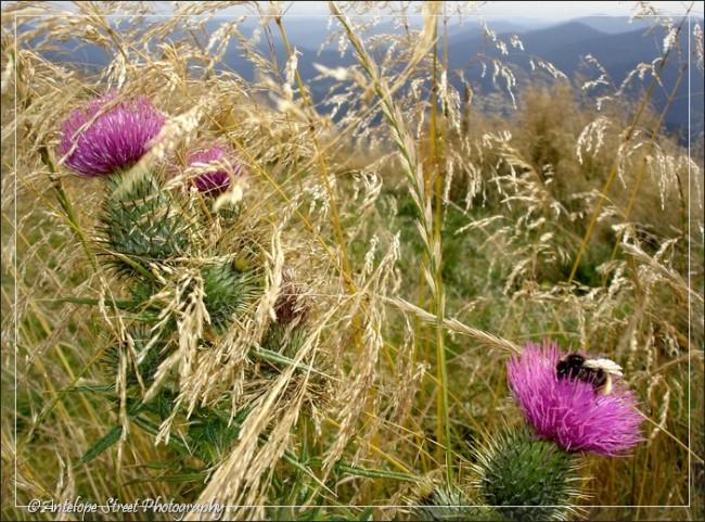 gondola grass thistles bee