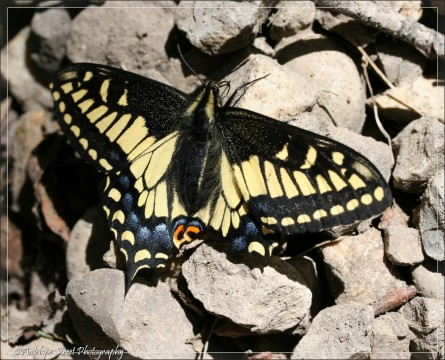 Anise Swallotail