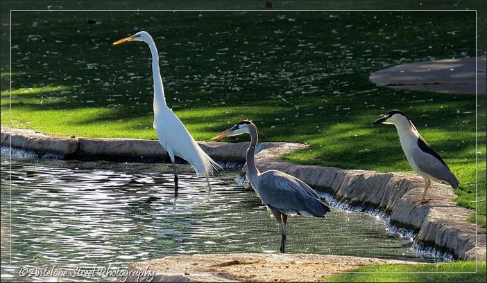 Egret, great blue heron, black crowned night heron