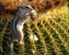 Arizona golden barrel cactus