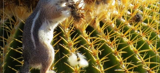 Arizona golden barrel cactus