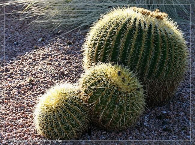 Cactus Arizona