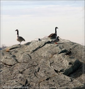 Canada geese2