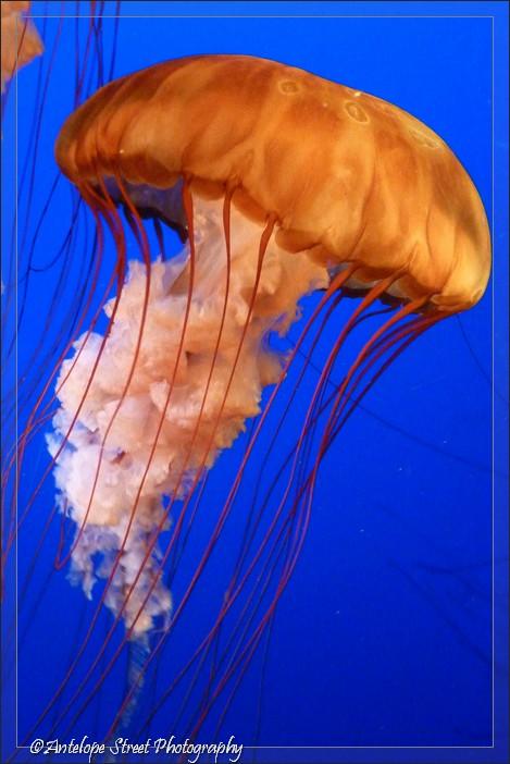 4-jelly-fish