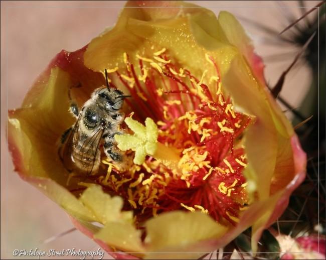 Arizona cactus insect pollen