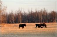 291-Moose2