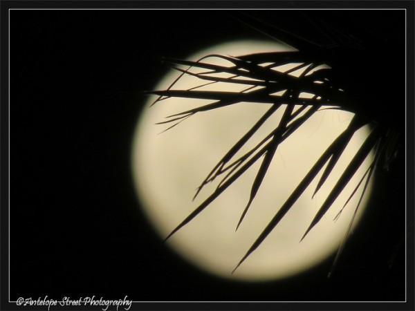 510-moon-palm