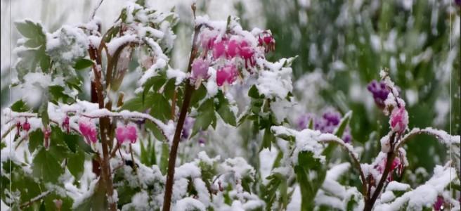 snow pink flower