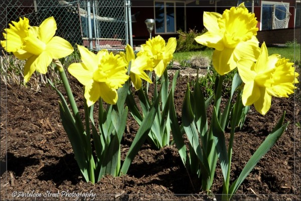 07-daffodil