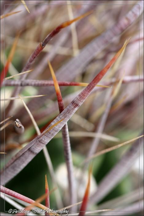 51-fishhook-barrel-cactus