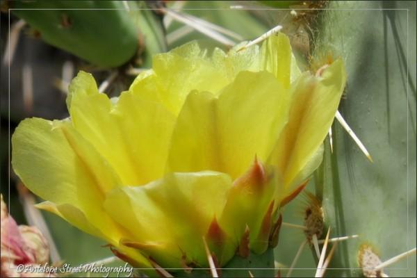 yellow flowers Arizona