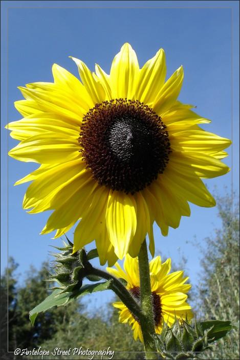 04-sunflower