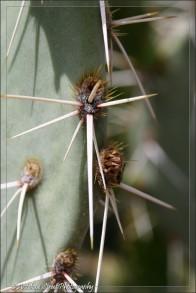Prickly pear cactus 1