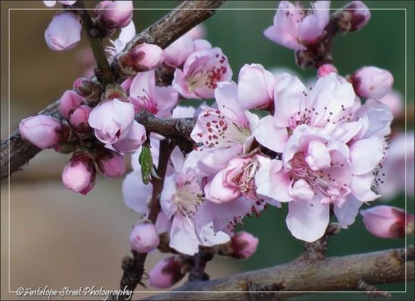 145-jerome-tree-blooms2