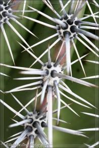 Saguaro cactus4