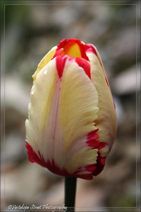 14-tulip4