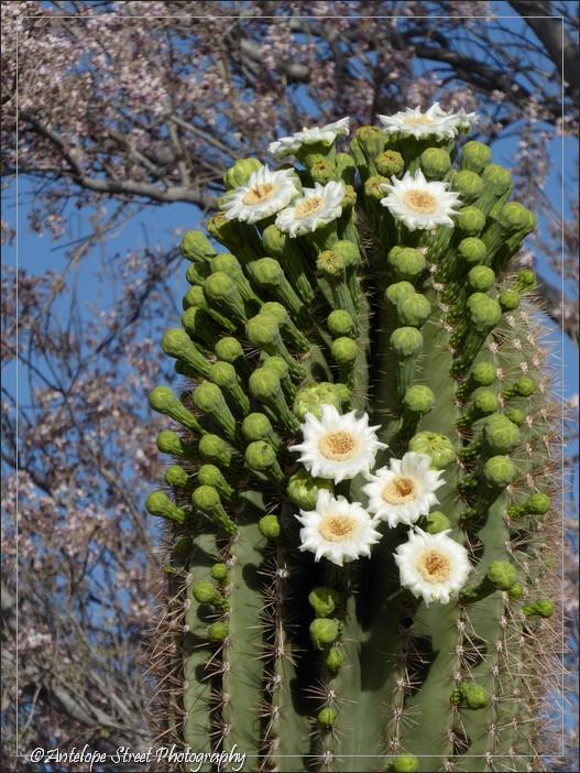 white flowers Arizona
