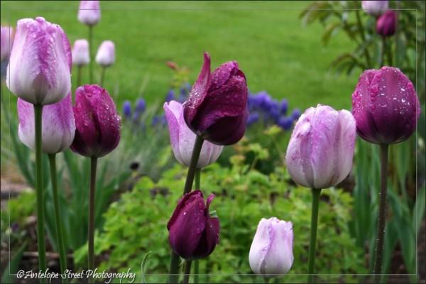 14-tulip3