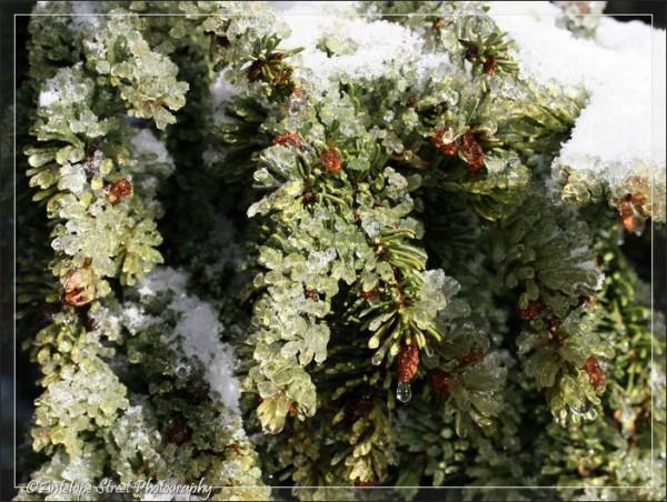 498-ice-spruce