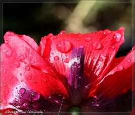 poppy red raindrops Papaver2