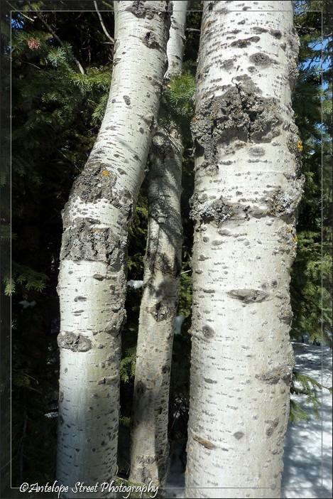 06-bark-aspen