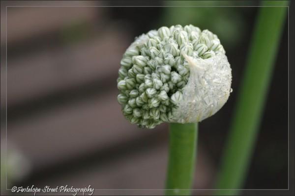 16-onion