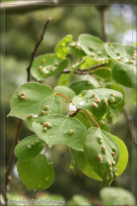 10-aspen-bugs