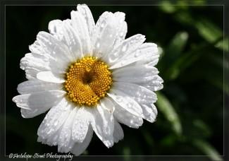 Shasta Daisy2