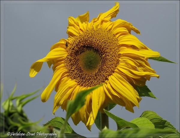 65-sunflower-photo