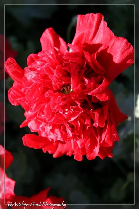 18-poppy-red