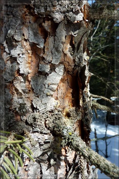 06-bark-spruce2