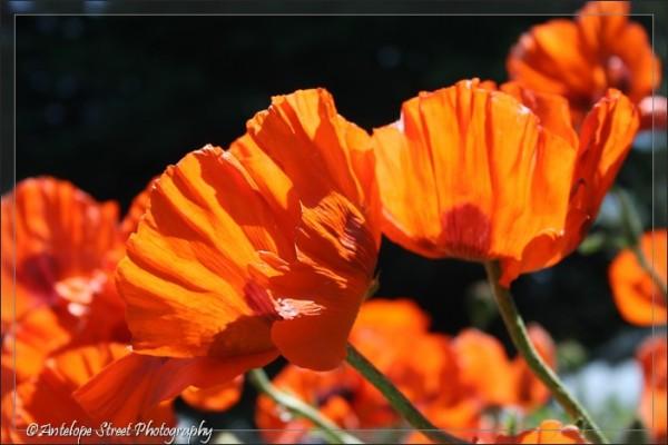 15-oriental-poppy1