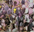 Prickly Pear puple pads