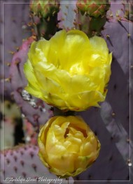 Prickly Pear purple pads Yellow flower close up