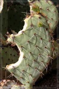 Prickly pear cactus 2