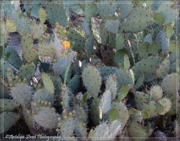 Prickly Pear yellow flower