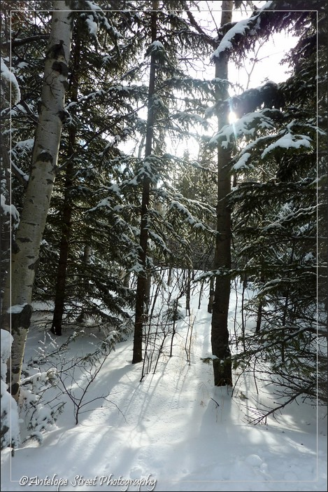 snow spruce trees
