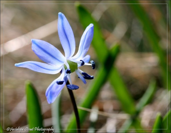 blue flower Alberta