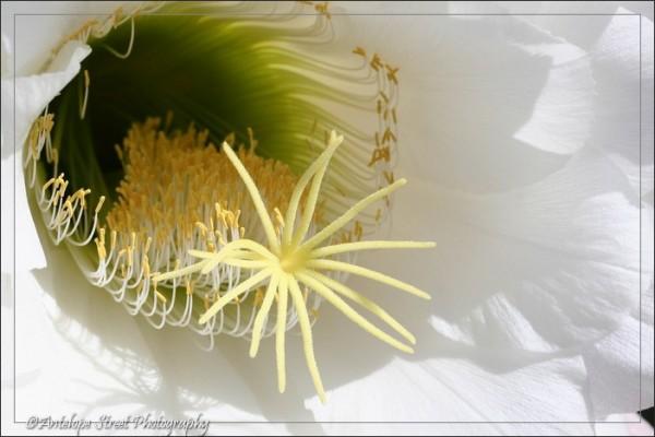 48-argentine-giant-cactus4