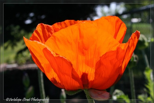 15-oriental-poppy2
