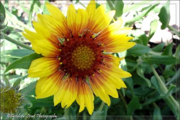 01-sunflower