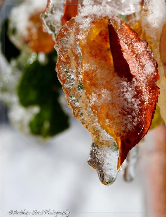 66-ice-leaf2