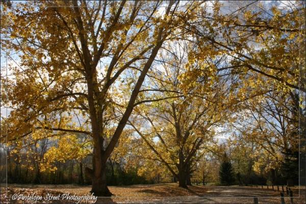 28-fall-poplars
