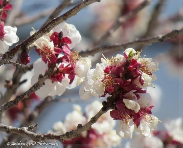 145-jerome-tree-blooms1